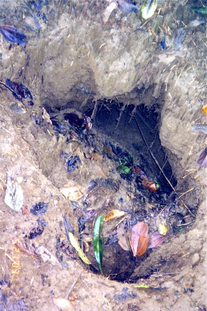 Tarantula nest in Costa Rica