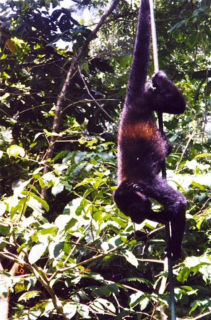 Costa Rica Howler Monkey on Bridge 2