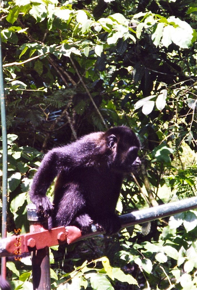 Costa Rica Howler Monkey on Bridge 3