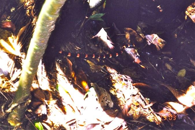Costa Rica Black Halloween Snake
