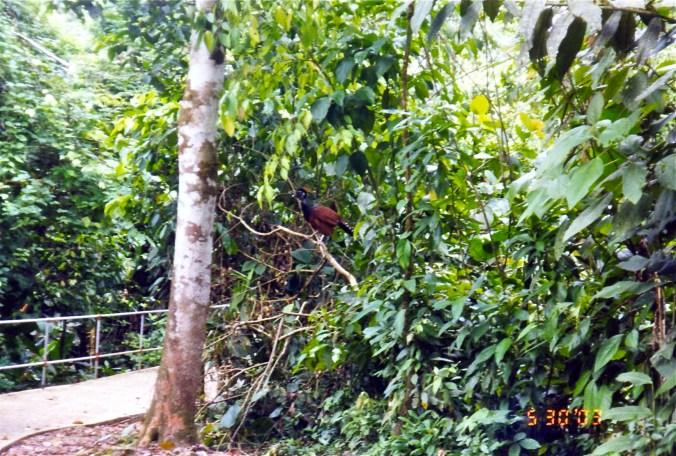 Costa Rica great curassow