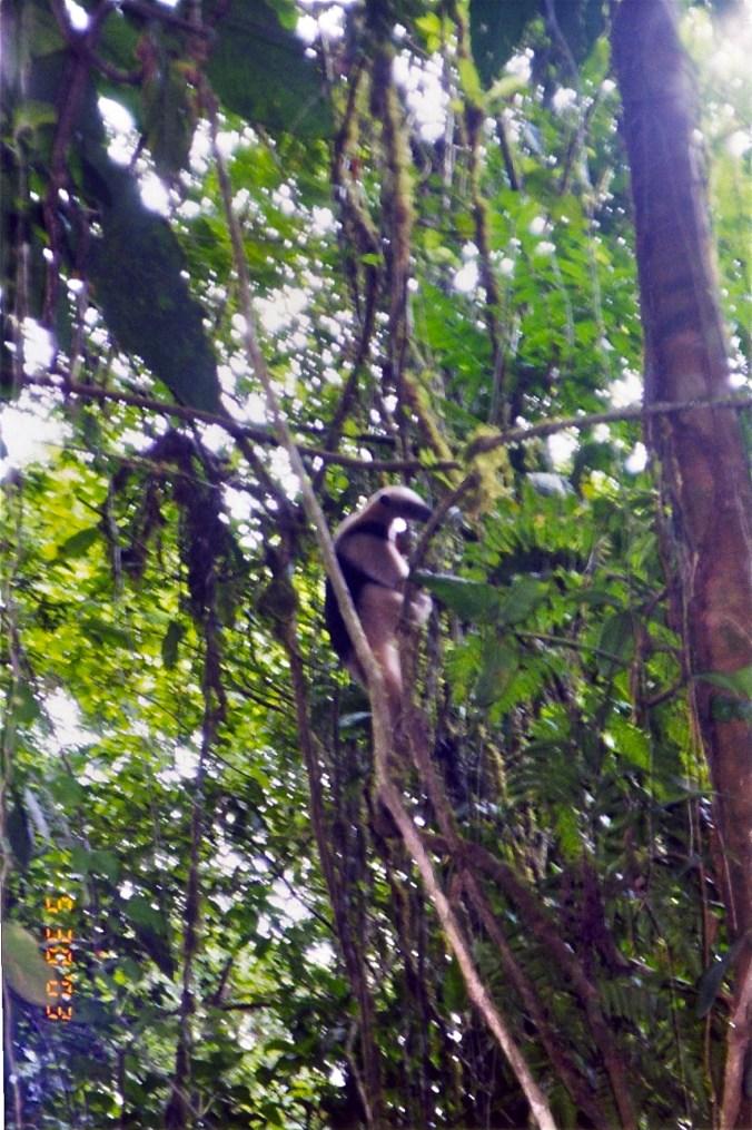 Costa Rica tamandua collared anteater 2