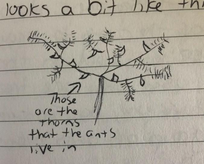 Acacia Tree Drawing