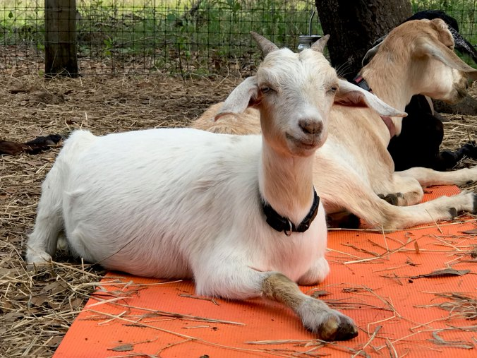 Goats chilling on orange yoga mat