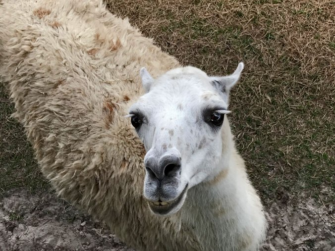 llama looking up at is with smiling teeth