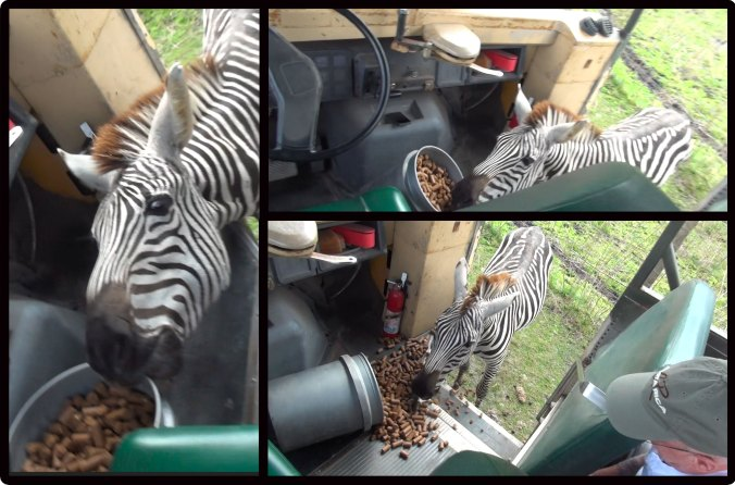 Zebra stealing food from jeep