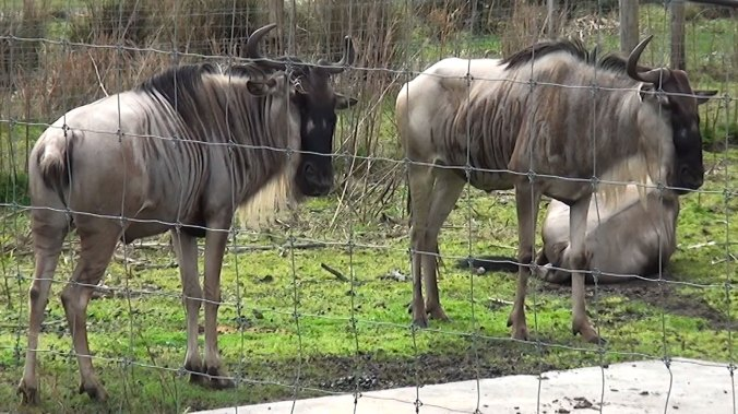 Two blue gnu or wildebeest behind fence