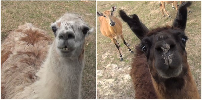 Llamas looking adorable
