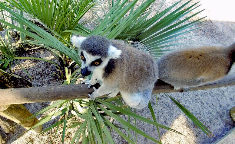 Lemur from above