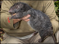Mallomys giant rat