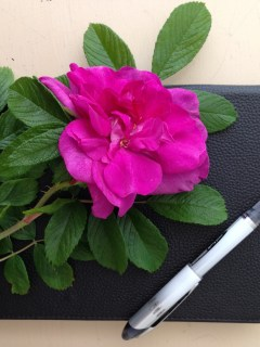 Rosa Rugosa Magenta Bloom and Pen