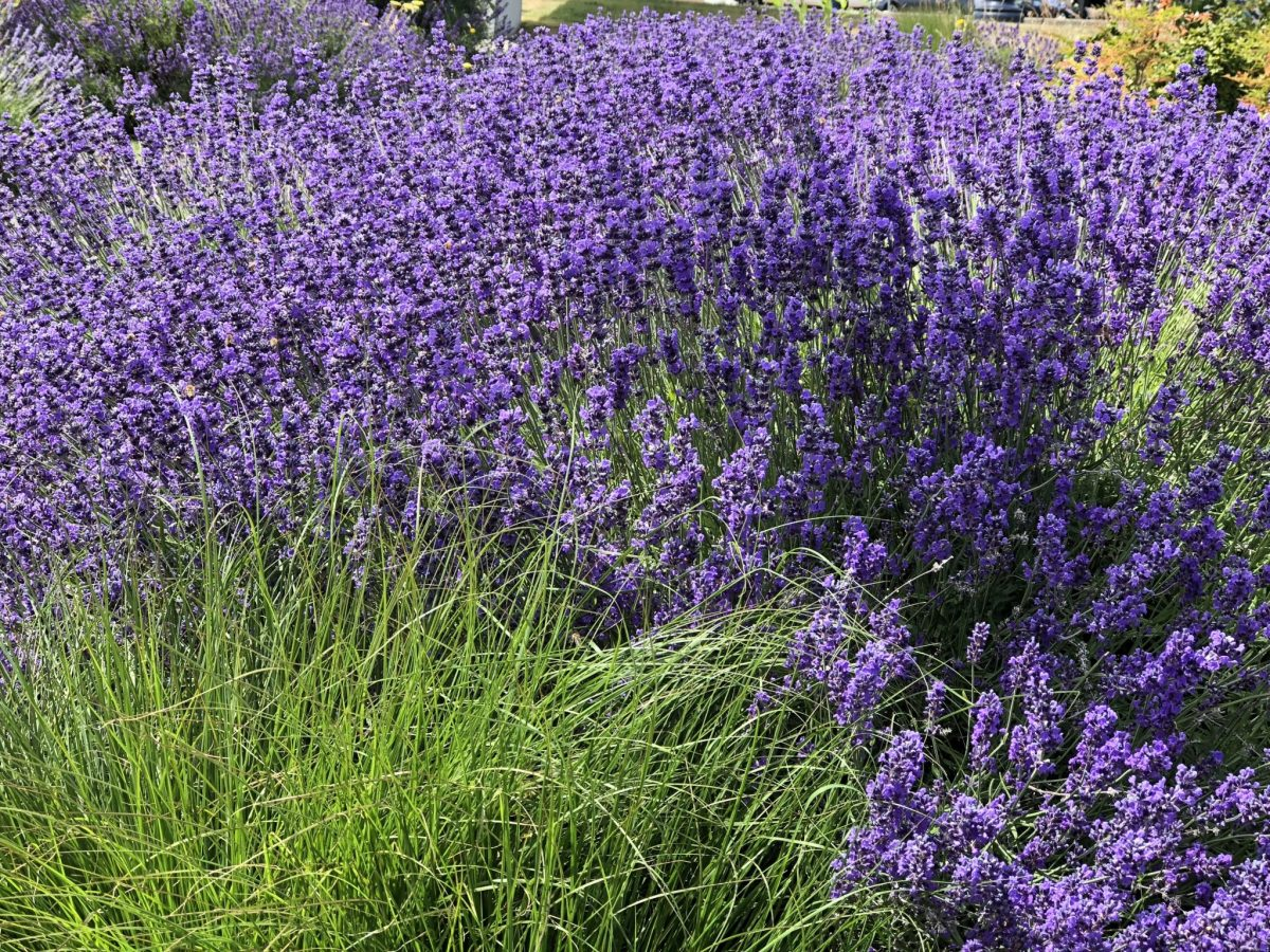 Lavender, Might and Main Monday: Inspired by Lavender, Karen Hugg, https://karenhugg.com/2018/07/15/lavender, #lavender #Provence #perennials #novel #writing #inspiration