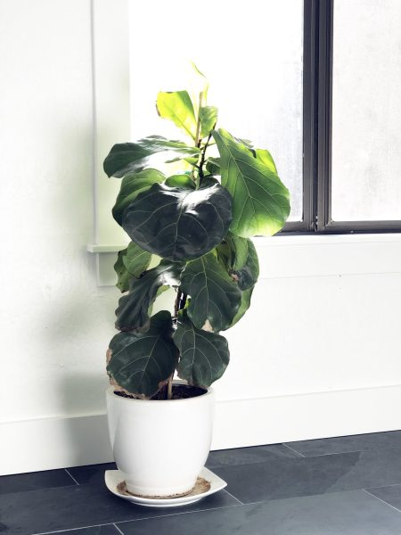 Fiddle Leaf Fig Plant, How to Hide That You're a Vampire Mom, An Interview With Autumn Lindsey, Karen Hugg, https://karenhugg.com/2019/01/29/autumn-lindsey/ #books #novels #AutumnLindsey #RemainingAileen #vampires