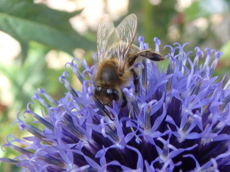 bee on flower, What You Can Do to Prevent Bee Collapse, Karen Hugg, https://karenhugg.com/2019/03/24/bee/ #bees #beecollapse #wildflowers #gardening #plants #TheForgettingFlower