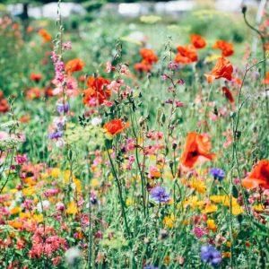 Wildflowers, How to Get Your Free Wildflower Seeds, Karen Hugg, https://karenhugg.com/2019/04/05/wildflower-seeds/ #seeds #wildflowers #bees #seedpackets #free #TheForgettingFlower #KarenHugg #books #novels #gardening #plants