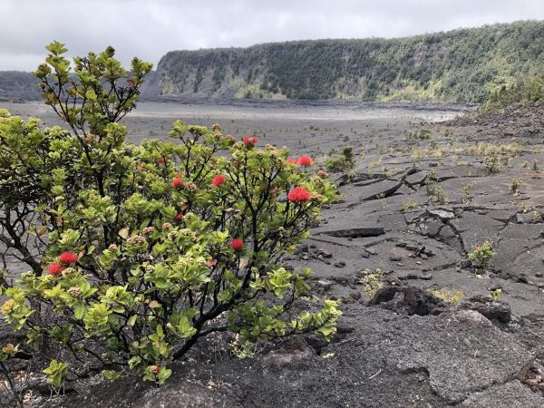 Ohia Lehua in Hawaii, 7 Heavenly Flowers That Will Enchant You in Hawaii, Karen Hugg, https://karenhugg.com/2019/05/02/hawaii-flowers/, #Hawaii #flowers #plants #tropical #gardening #islandlife #BigIsland