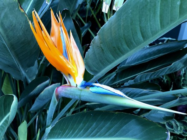 Bird-of-Paradise in Hawaii, 7 Heavenly Flowers That Will Enchant You in Hawaii, Karen Hugg, https://karenhugg.com/2019/05/02/hawaii-flowers/, #Hawaii #flowers #plants #tropical #gardening #islandlife #BigIsland