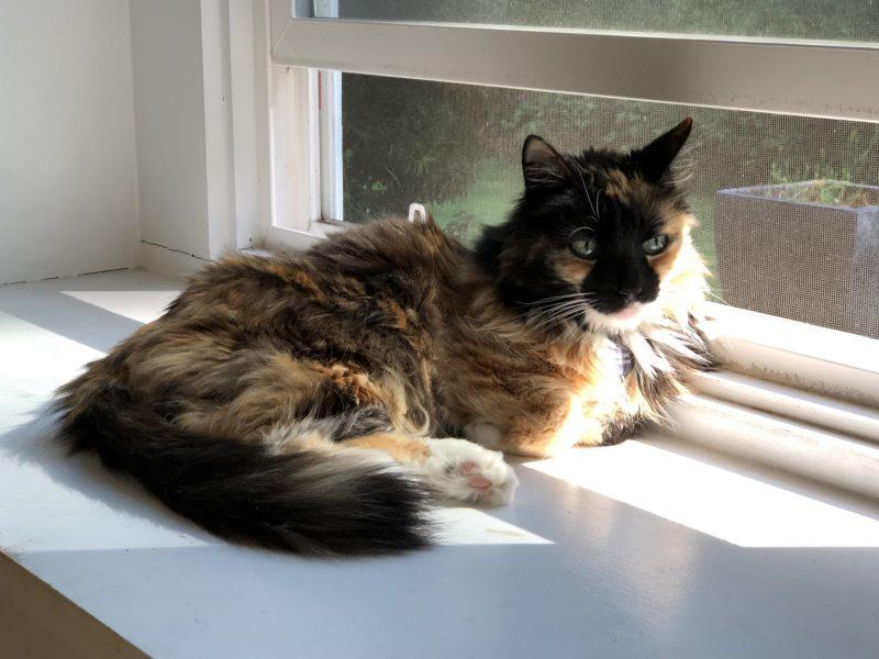 Maddie My Cat, When my Book Debuts, Will my Cat Die? God, I Hope Not, Karen Hugg, https://karenhugg.com/2019/05/28/my-cat-maddie/ #pets #cats #books #Maddie #SongoftheTreeHollow #petillness
