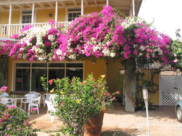Pink and White Bougainvillea in Hawaii, 7 Heavenly Flowers That Will Enchant You in Hawaii, Karen Hugg, https://karenhugg.com/2019/05/02/hawaii-flowers/, #Hawaii #flowers #plants #tropical #gardening #islandlife #BigIsland