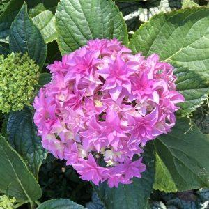 Stargazer Hydrangea, A Stargazer Hydrangea to Gaze at, Karen Hugg, https://karenhugg.com/2019/05/20/stargazer-hydrangea/ #gardening #plants #shrubs #hydrangeas #stargazer #garden