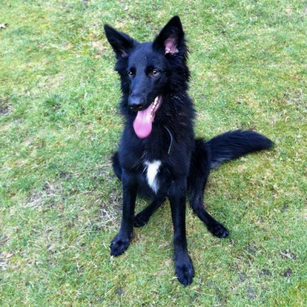 Zeke, Zeke the Dog: My Very Own Direwolf, Karen Hugg, https://karenhugg.com/2019/05/21/zeke/ #dogs #Zeke #blackdogs #direwolf #BelgianShepherd
