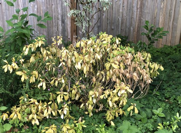 Skimmia, What Happened to My Skimmia? From Stately Shrub to Plant Skeleton, Karen Hugg, https://karenhugg.com/2019/06/08/skimmia #skimmia #shade #shrub #evergreen #broadleaf #berries #gardening #plants #dogs