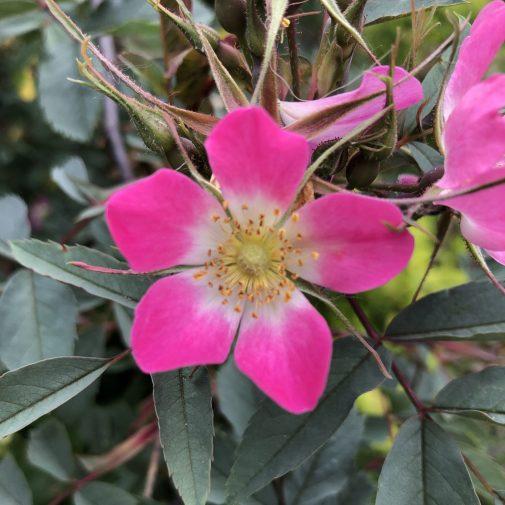 Rosa Glauca Flower, An Easy Beautiful Rose Every Gardener Can Grow, Karen Hugg, https://karenhugg.com/2019/06/02/rosa-glauca/ #rose #lowmaintenance #easycare #rosaglauca #gardening #plants #pink #shrubroses