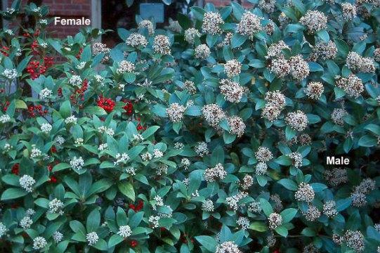 Skimmia Berries and Flowers, What Happened to My Skimmia? From Stately Shrub to Plant Skeleton, Karen Hugg, https://karenhugg.com/2019/06/08/skimmia #skimmia #shade #shrub #evergreen #broadleaf #berries #gardening #plants #dogs