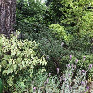 Woodland Border, In a Woodland Border, Plants Struggle in the Sun and Sandy Soil, Karen Hugg, https://karenhugg.com/2019/06/15/dry-woodland-border/ #woodlandborder #dry #gardening #plants #garden #fullsun #trees