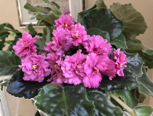 Pink African Violet, How a Mild Obsession With African Violets Led to the Fantastic, Karen Hugg, https://karenhugg.com/2019/07/15/african-violets/ #AfricanViolets #houseplants #plants #gardening #indoorplants #pinkAfricanViolet #books #bookssetinParis #Paris #flowers #TheForgettingFlower