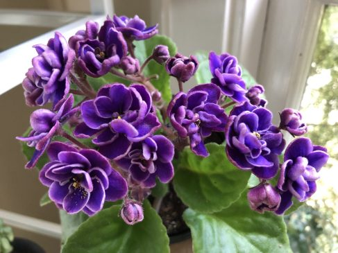 Purple African Violet, How a Mild Obsession With African Violets Led to the Fantastic, Karen Hugg, https://karenhugg.com/2019/07/15/african-violets/ #AfricanViolets #houseplants #plants #gardening #indoorplants #purpleAfricanViolet #books #bookssetinParis #Paris #flowers #TheForgettingFlower