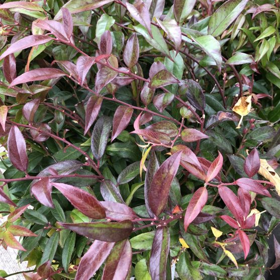 Coast Leucothoe, A Fantastic Evergreen Shrub for Winter Interest, Karen Hugg, https://karenhugg.com/2020/01/21/leucothoes/, #leucothoes #leucothoerainbow #evergreenshrubs #gardening #plants #garden #mediumshrubs