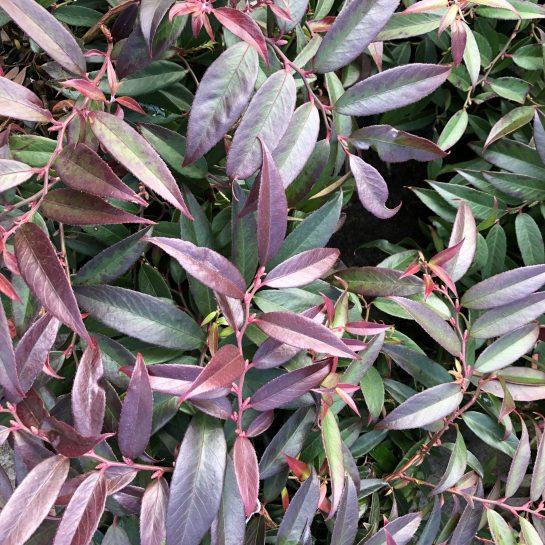 Rejoyce Leucothoe, A Fantastic Evergreen Shrub for Winter Interest, Karen Hugg, https://karenhugg.com/2020/01/21/leucothoes/, #leucothoes #evergreenshrubs #gardening #plants #garden #mediumshrubs