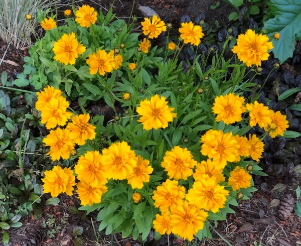 Coreopsis, The 10 Best Perennials for Sun, Karen Hugg, https://karenhugg.com/2020/07/01/best-perennials-for-sun/ #perennials #tickseed #coreopsis #flowers #plants #yellow #sun #easy #best