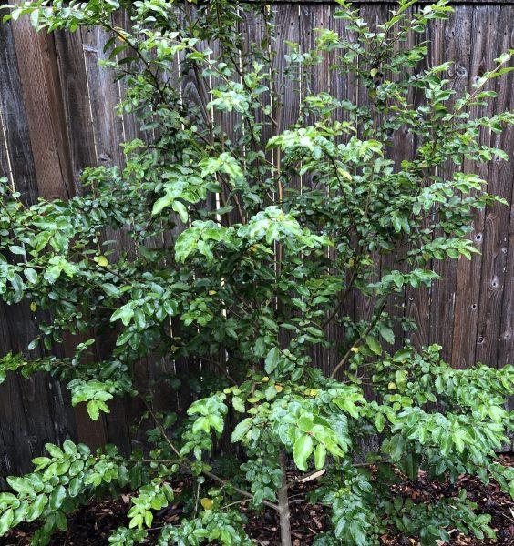 Andean Gold Azara, An Azara is Exotic But Easy to Grow, Karen Hugg, https://karenhugg.com/2020/06/30/azara #azara #exotic #tree #SouthAmerica #Chile #evergreen #fragrant #floweringtree #easytogrow #AndeanGold