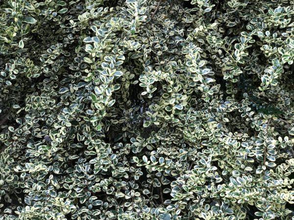Variegated Azara, An Azara is Exotic But Easy to Grow, Karen Hugg, https://karenhugg.com/2020/06/30/azara #azara #exotic #tree #SouthAmerica #Chile #evergreen #fragrant #floweringtree #easytogrow #variegated