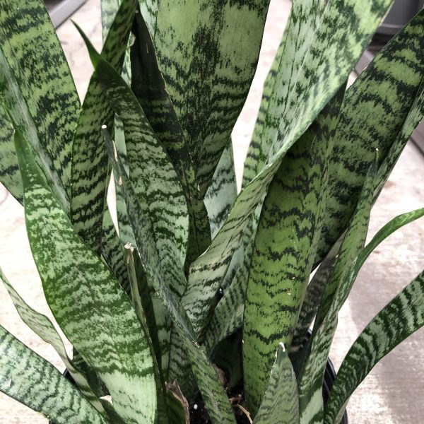 Snake Plant, 5 of the Easiest House Plants to Grow, Karen Hugg, https://karenhugg.com/2021/01/08/easiest-house-plants/(opens in a new tab) #houseplants #house #plants #snakeplant #variegated #motherinlawstongue #indoorplants