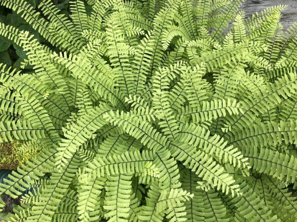 Maidenhair Fern, Memories of Summer Make Winter Fade For a While, Daily Stress Releaf, Karen Hugg, https://karenhugg.com/2021/02/25/memories-of-summer/ #maidenhairfern #plants #dailystressreleaf #relaxation #ferns #destressing