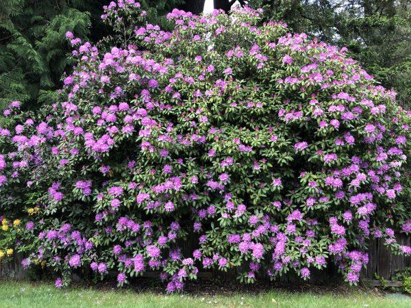 Rhododendron, Memories of Summer Make Winter Fade For a While, Daily Stress Releaf, Karen Hugg, https://karenhugg.com/2021/02/25/memories-of-summer/ #rhododendron #plants #dailystressreleaf #relaxation #perennials #destressing