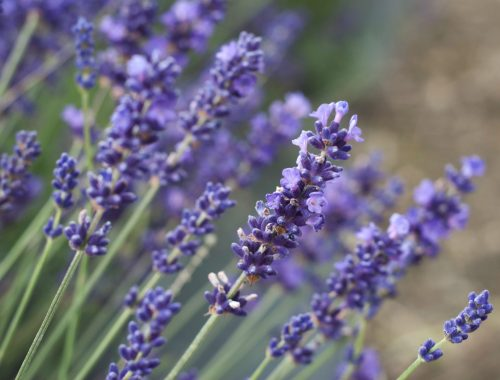 Lavender, The Only Two Herbs You Need to Lower Stress, Daily Stress ReLeaf, Karen Hugg, https://karenhugg.com/2021/03/17/two-herbs-lower-stress/(opens in a new tab) #dailystressreleaf, #plants, #destressing, #mentalhealth #herbs #lavender #rosemary #lowerstress #stress #relaxation #anxiety
