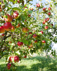 stock-photo-17460763-apples-on-branch