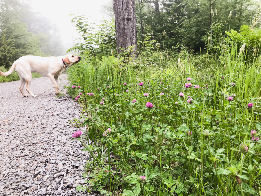 Chessie sniffing flowers on a wooded path