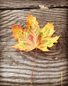 a maple leaf of mixed fall colours on a boardwalk