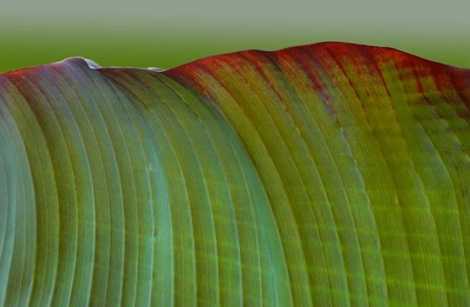 Green Waves (Strellitzia)