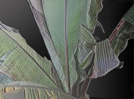 The Rain Forest (Strellitzia)
