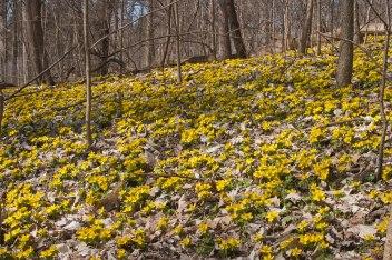 Blooming aconite
