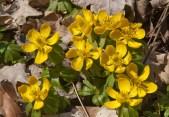 Blooming aconite1