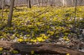 Blooming aconite2