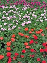 greenhouse flowers3