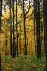 spruce plot